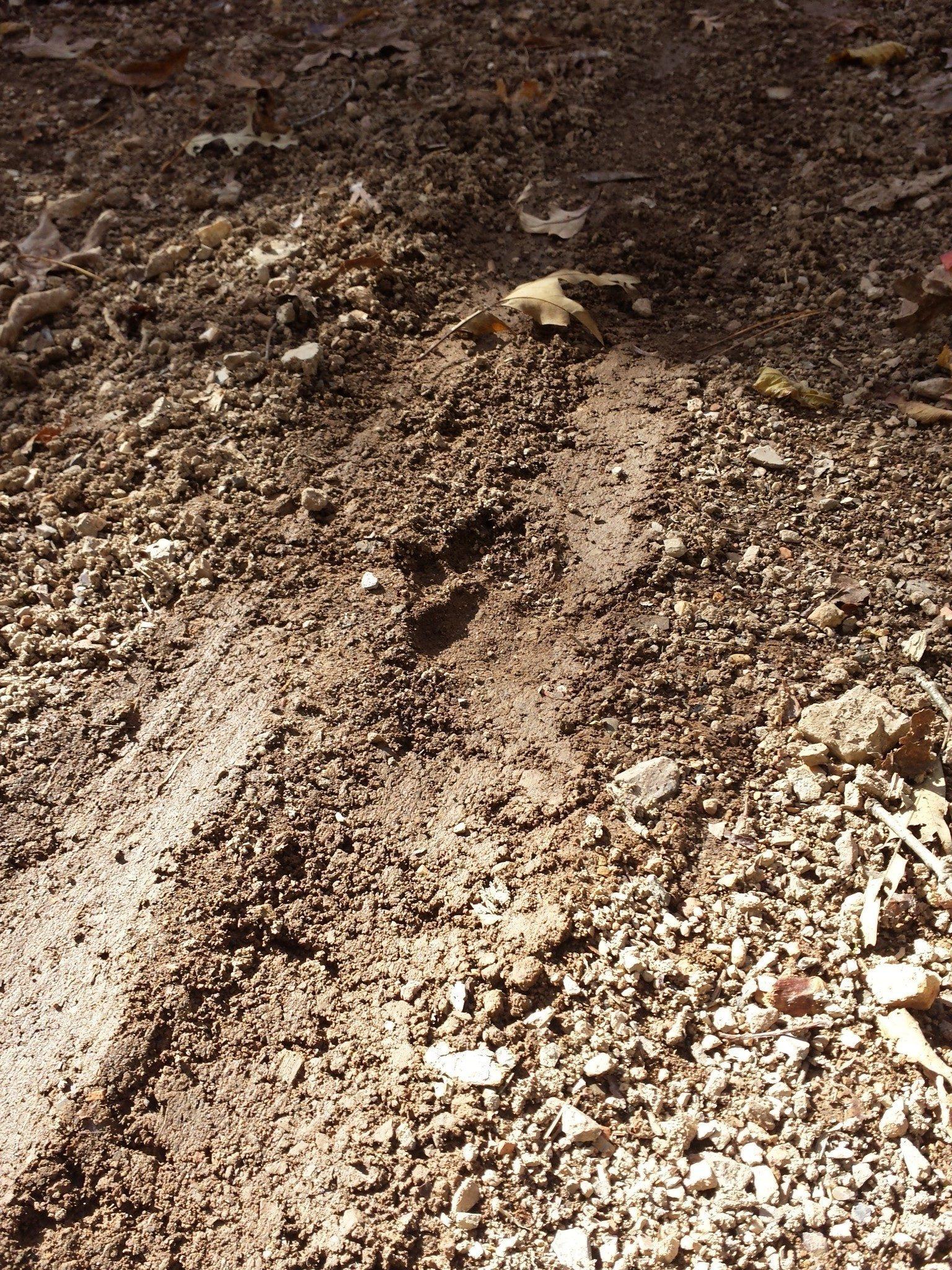 Deer hoof print on logging road